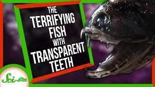 The Terrifying Fish with Transparent Teeth