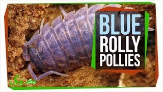 The Horrible Reason Rolly Pollies are Sometimes Blue