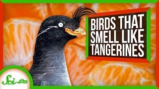 These Birds Smell Like Tangerines